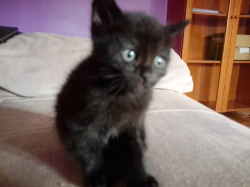 gato en adopcion