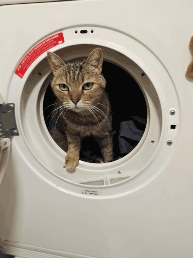 gato dentro de secadora