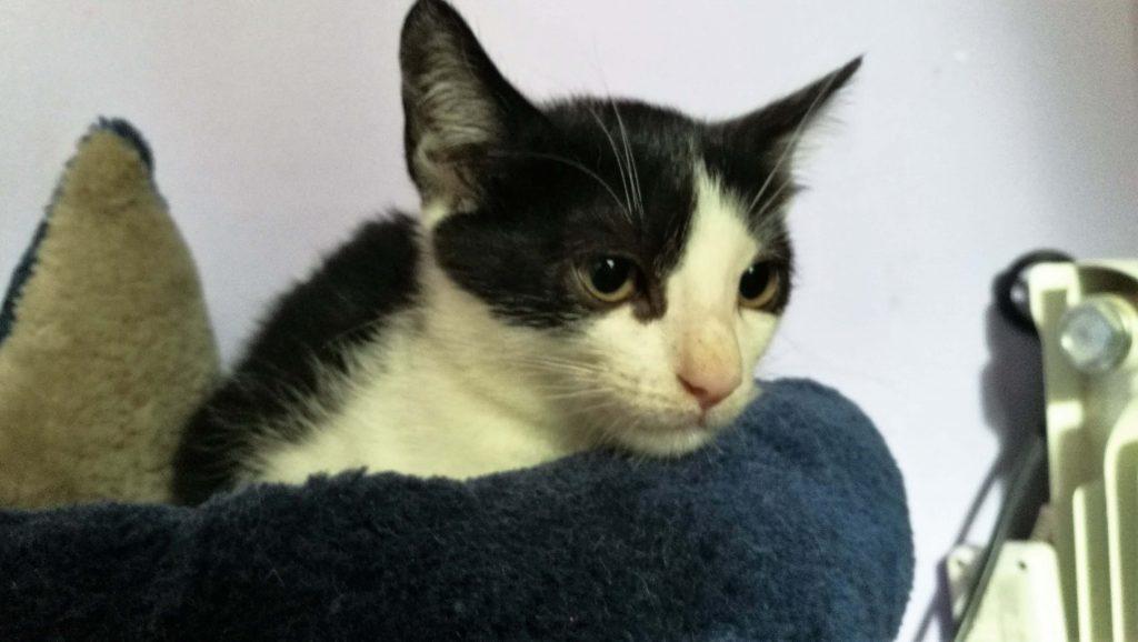 bebe gato en adopcion