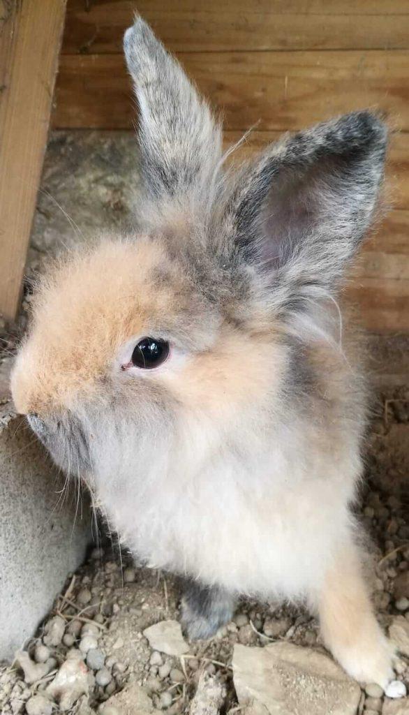 conejo en adopcion