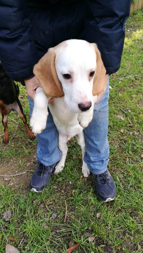 cachorro beagle en adopcion en Girona