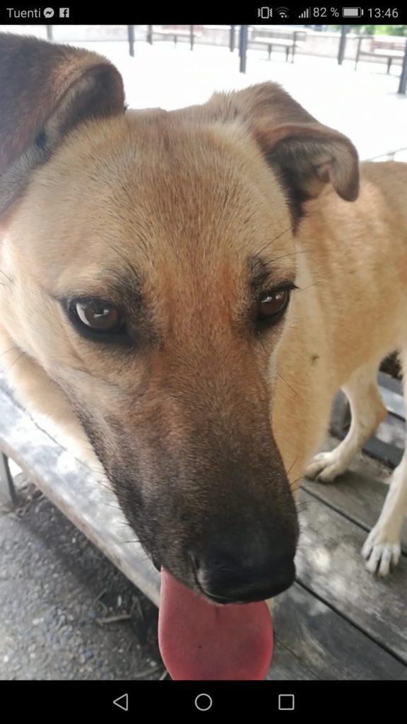 Dana-perro-pastor-en-adopción-girona