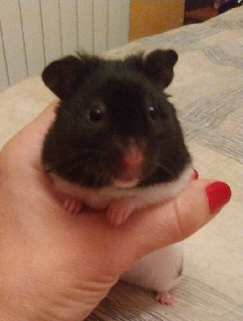 hamster en adopción