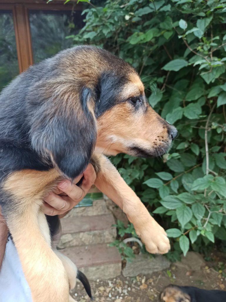 Cachorros Pastor Aleman con Mastin 6