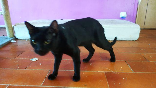 Basil, Gato Negro Macho. 2