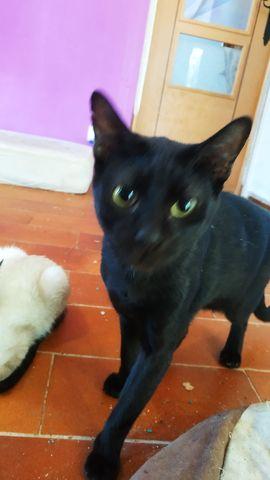 Basil, Gato Negro Macho. 1