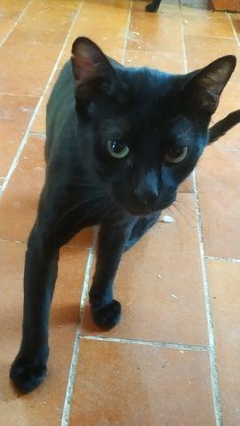 Basil, Gato Negro Macho. 5