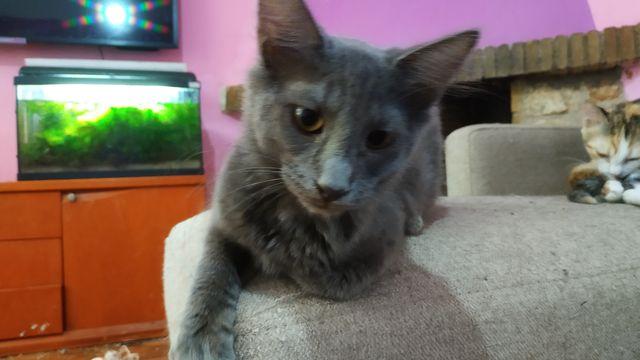 Cachorro Gato Nebulung en adopción 2