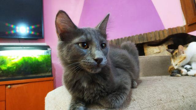 Cachorro Gato Nebulung en adopción 1