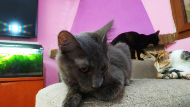 Cachorro Gato Nebulung en adopción 8