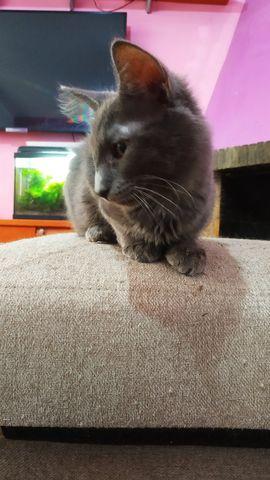Cachorro Gato Nebulung en adopción 9