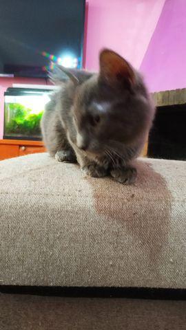 Cachorro Gato Nebulung en adopción 10