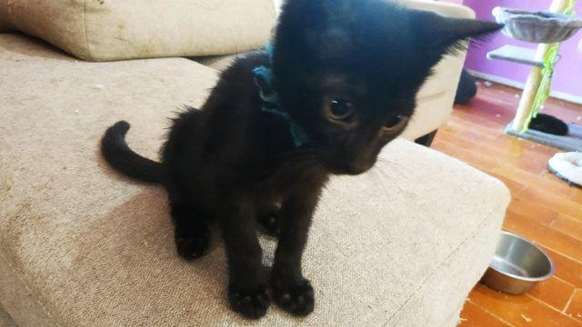 Cachorro Gato Hembra, collar azul. 6