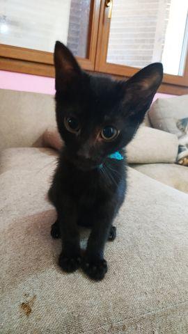 Cachorro Gato Hembra, collar azul. 1