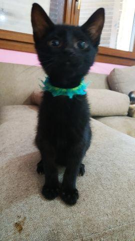 Cachorro Gato Hembra, collar azul. 10