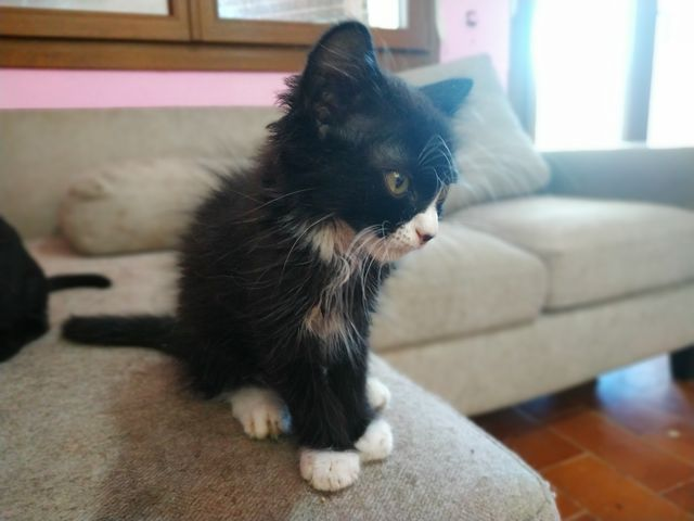 Cachorro gato Pelo Largo, negro patas blancas. 6