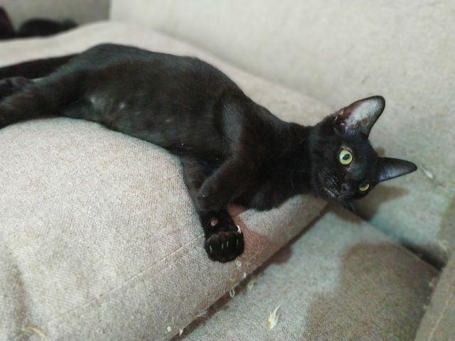 Gato Negro en Adopción en Girona 13