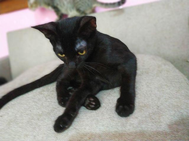 Gato Negro en Adopción en Girona 10