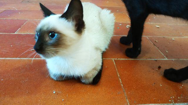 Gato Siamés en Adopción 2