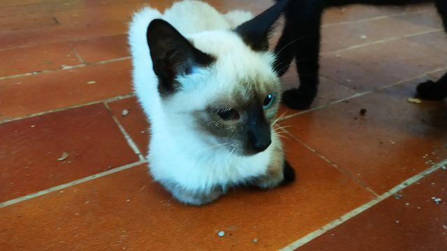 Gato Siamés en Adopción 3