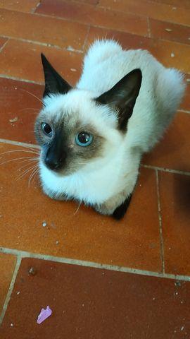 Gato Siamés en Adopción 5