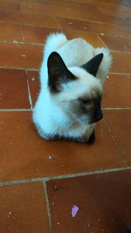 Gato Siamés en Adopción 6