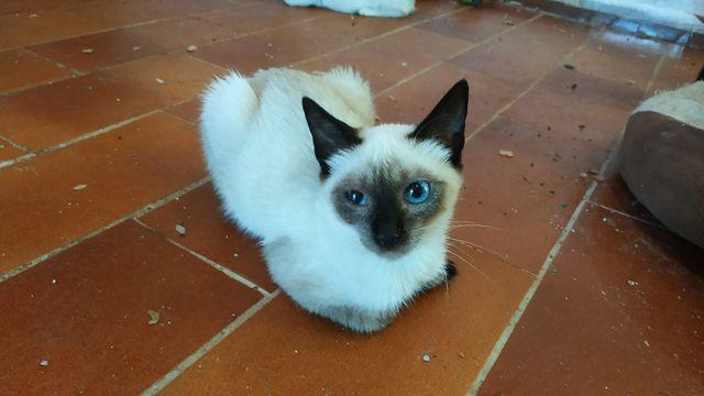 Gato Siamés en Adopción 8