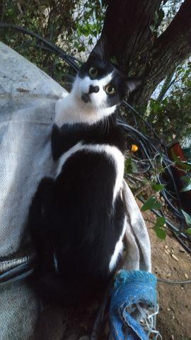 Simón, Gato adulto en adopción 8