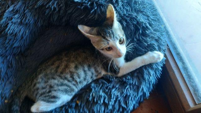 Gatito atrigrado+blanco en adopción 2