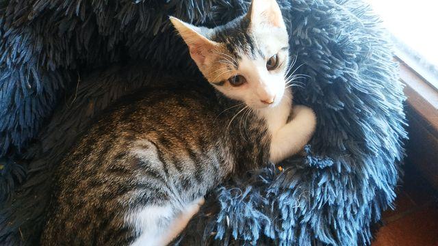 Gatito atrigrado+blanco en adopción 3