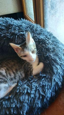 Gatito atrigrado+blanco en adopción 4