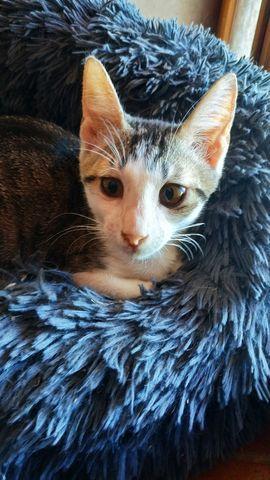 Gatito atrigrado+blanco en adopción 1