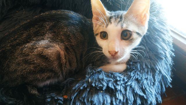 Gatito atrigrado+blanco en adopción 8