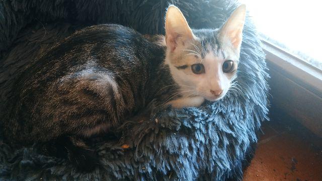Gatito atrigrado+blanco en adopción 10